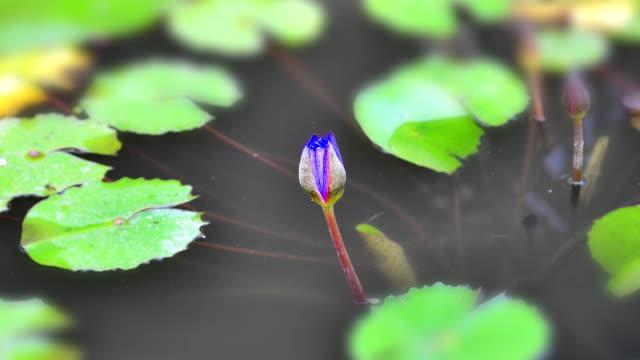 Timelapse von der blauen Lotosblume blühenden (Zoom) – Video