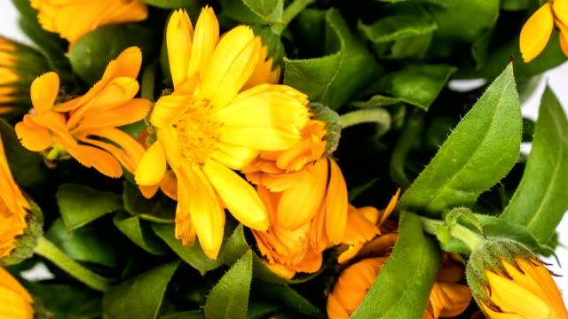 Timelapse of calendula flowers blooming .