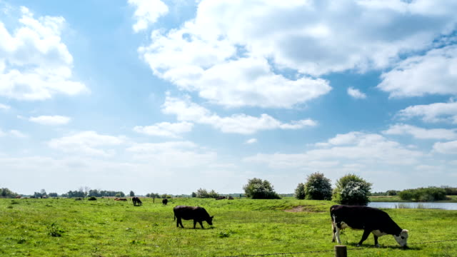 Time-lapse of Cow eating grass in the field