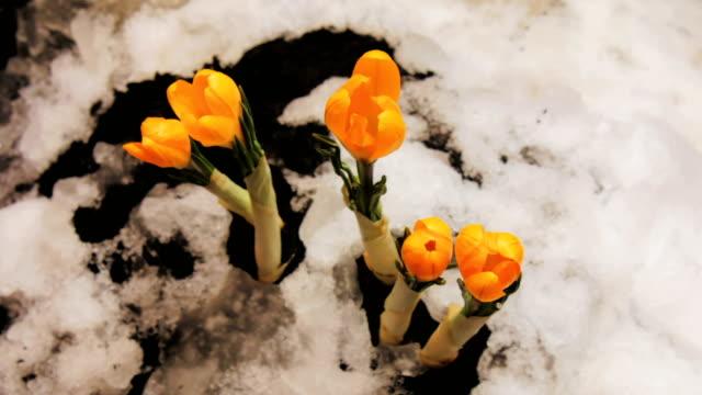 雪タイムラプスからクロッカスの花咲く成長のタイムラプス - 雪点の映像素材/bロール