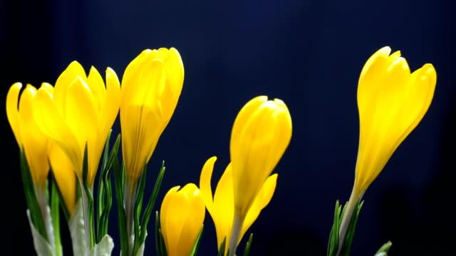 vídeos de stock e filmes b-roll de timelapse of crocus flower blooming on black and blue background timelapse - maio
