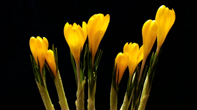 Timelapse of crocus flower blooming on black and blue background Timelapse video