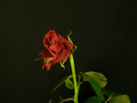 time-lapse di morire red rose 2 - morte video stock e b–roll
