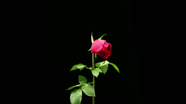 Best Withered Rose Stock Videos and Royalty-Free Footage