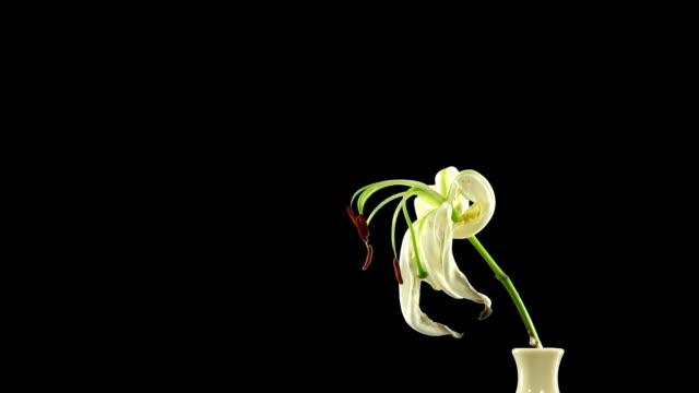 time-lapse sterben weiße lilie alpha matte 8 - verfault stock-videos und b-roll-filmmaterial