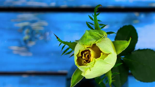 Timelapse of flowering and wilting of rose flower cycle of life and death of plant