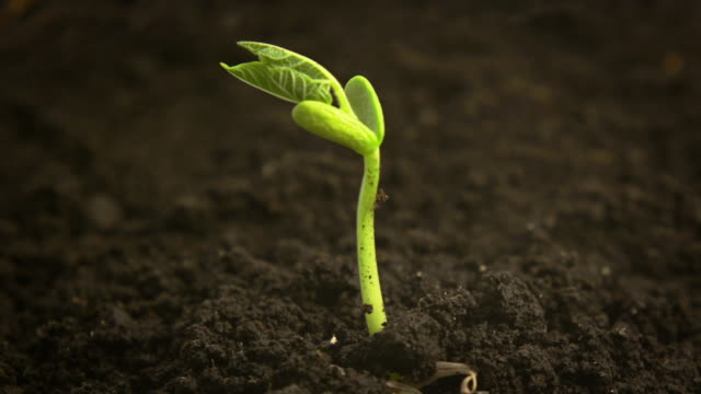 time-lapse di germinating fagiolo - fiori video stock e b–roll