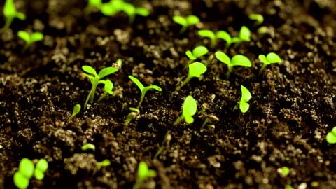 time-lapse di lattuga germogliare - agricoltura video stock e b–roll