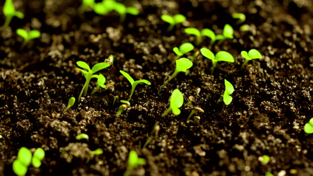 Time-Lapse of Germinating Lettuce Time-Lapse of Germinating Lettuce flower pot stock videos & royalty-free footage