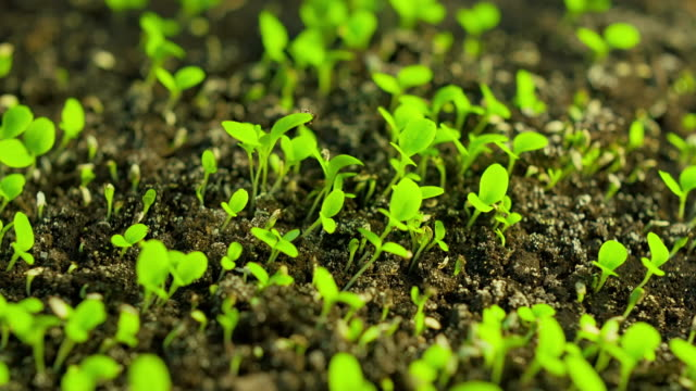 time-lapse of germinating lettuce - plants stock videos & royalty-free footage