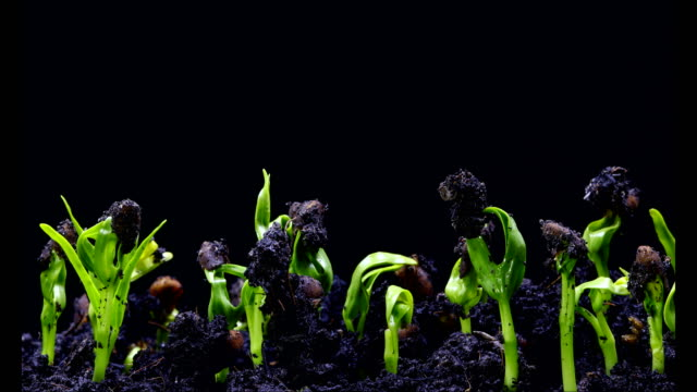 Time-Lapse of germinating seed