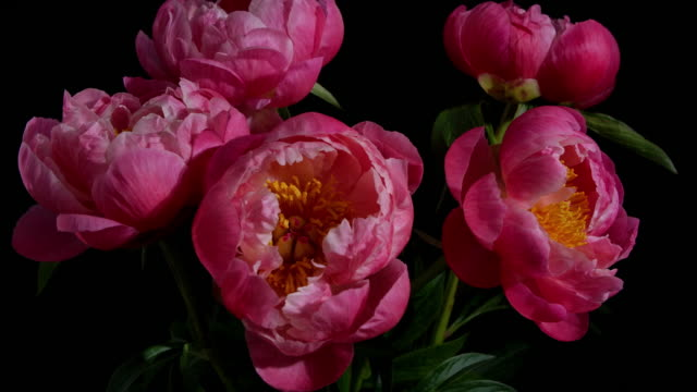 Time-lapse of Group of Pink Peonies Blooming on Black Background.