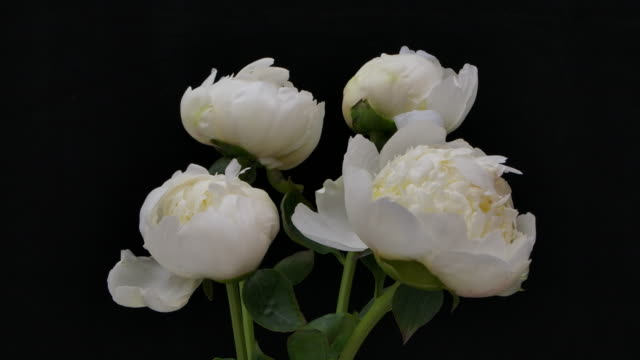 Time-lapse of Group of White Peonies Blooming on Black Background.