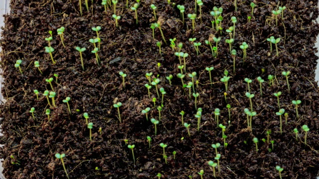 Time-lapse of growing green grass isolated on black background Barley grass growing timelapse on black background sowing stock videos & royalty-free footage
