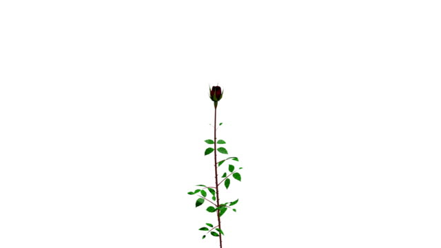 Time-lapse of grows and opening red rose on white background. video