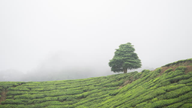 Timelapse of moving cloud over tea plantation video