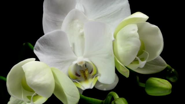 Time-lapse of opening orchid 4K on black background, macro