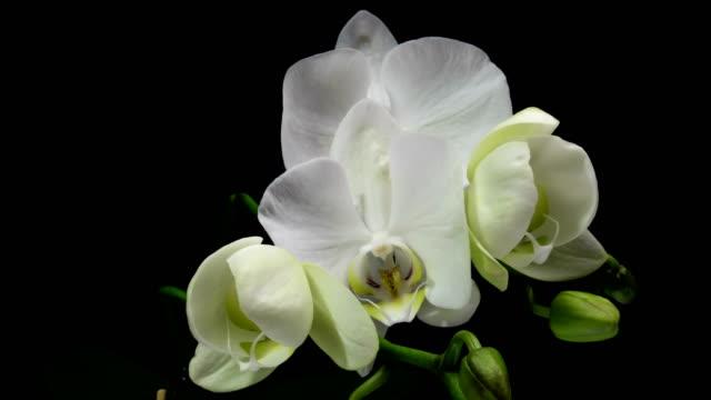 zeitraffer der öffnung orchidee 4k auf schwarzem hintergrund - orchidee stock-videos und b-roll-filmmaterial