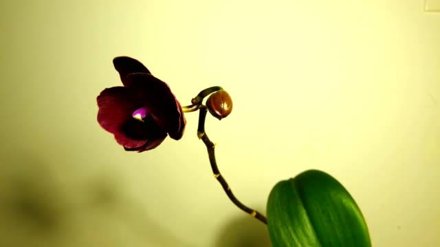 Time-lapse of opening orchid 4K