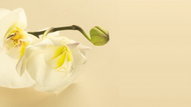 Time-lapse of opening orchid flowers on a beige, yellow background. Wedding backdrop, Valentine's Day, easter, spring, spa concept. 4K video. Place for text.