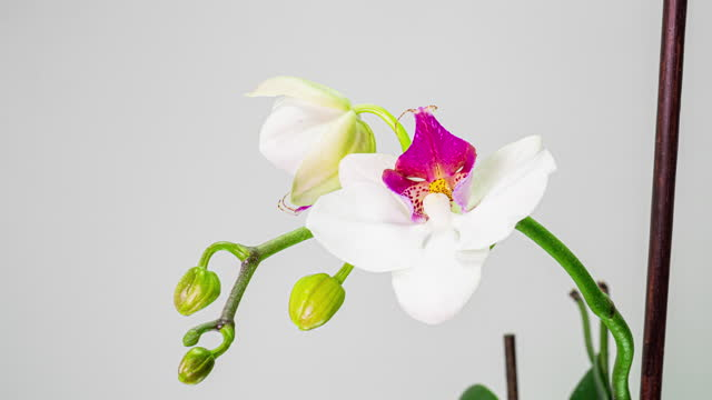 Time-lapse of opening orchid flowers on white background. Wedding backdrop, Valentine's Day. 4K video