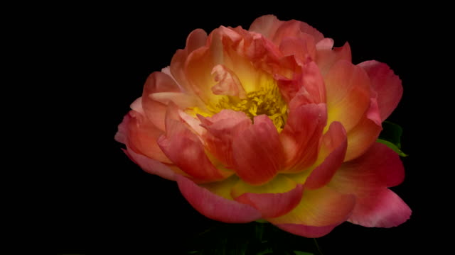 Timelapse of pink peony flower blooming on black background in 4K