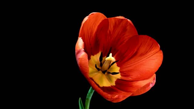 黒い背景に咲く赤いチューリップの花のタイムラプス。 - チューリップ点の映像素材/bロール