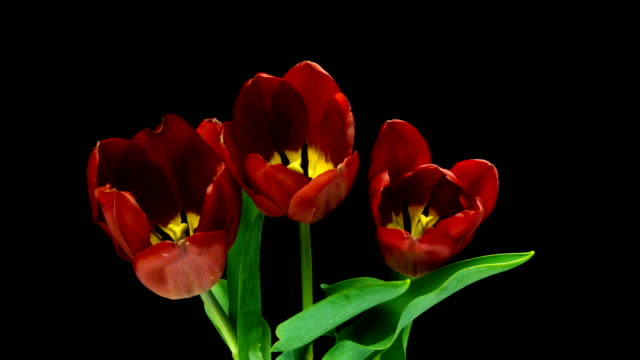Timelapse of red tulips flower blooming on black background.