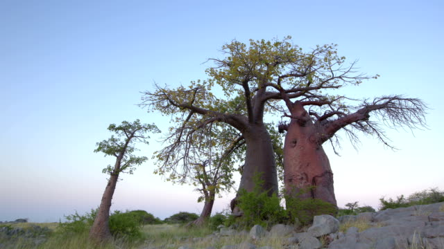 Time-lapse of sun rising on a group of baobab trees,Botswana Time-lapse of sun rising on a group of baobab trees,Botswana baobab tree stock videos & royalty-free footage
