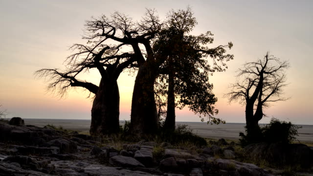 zeitraffer der aufgehenden sonne mit baobab bäume in silhouette, botswana - affenbrotbaum stock-videos und b-roll-filmmaterial
