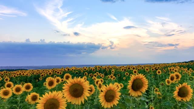 Timelapse of sunflower field on sunset background