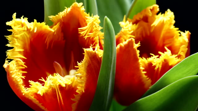Timelapse of tulip flower blooming on black and blue background Timelapse of tulip flower blooming on black background timelapse tulip stock videos & royalty-free footage