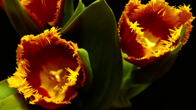 Timelapse of tulip flower blooming on black and blue background video