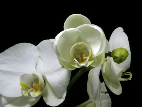 zeitraffer von weißen orchidee eröffnung 1 - orchidee stock-videos und b-roll-filmmaterial