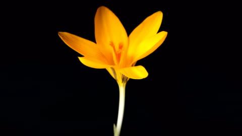 Timelapse of yellow crocus flower blooming on black background Timelapse of yellow crocus flower blooming on black background continuity stock videos & royalty-free footage