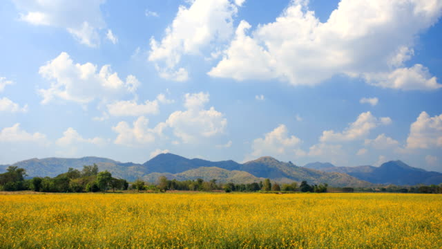 4K Time-lapse of Yellow meadow and blue sky. video