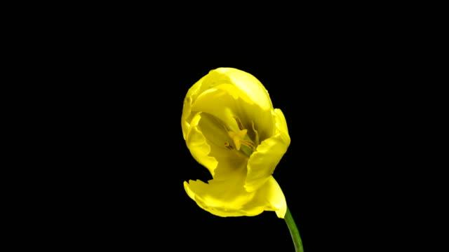 黒の背景に咲く黄色のチューリップの花のタイムラプス、アルファチャンネル - チューリップ点の映像素材/bロール