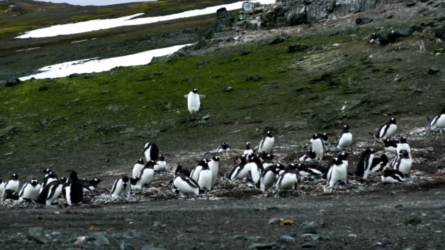 Time-lapse :Penguin walk on the islands Time-lapse :Penguin walk on the islands south georgia and the south sandwich islands stock videos & royalty-free footage