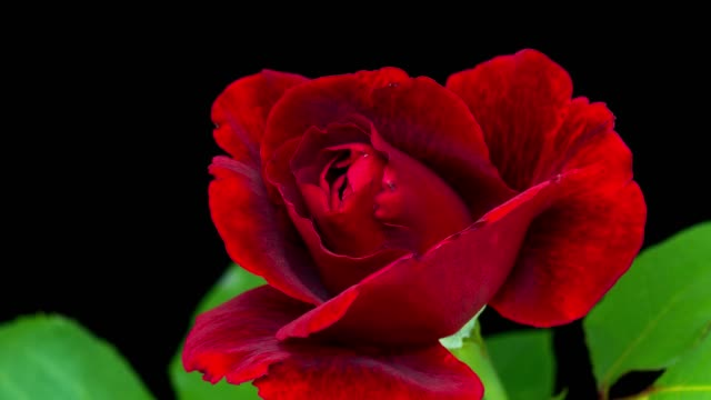 vídeos de stock e filmes b-roll de 4k time-lapse red rose flower - rosa flor