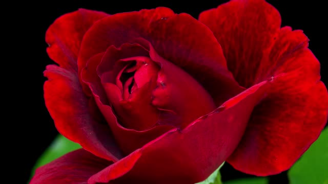 Time-Lapse red Rose Flower