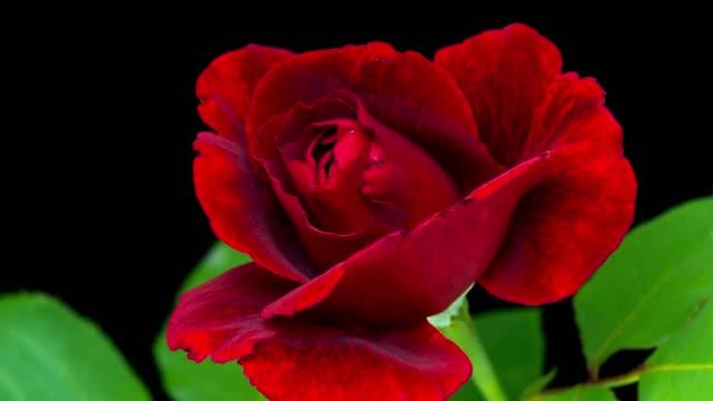 4K Time-Lapse red Rose Flower