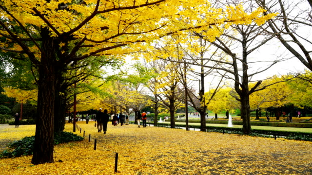 Timelapse Rows of autumn leaves Ginkgo trees.