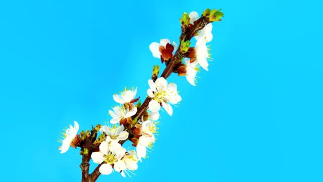 Timelapse sakura on blue video