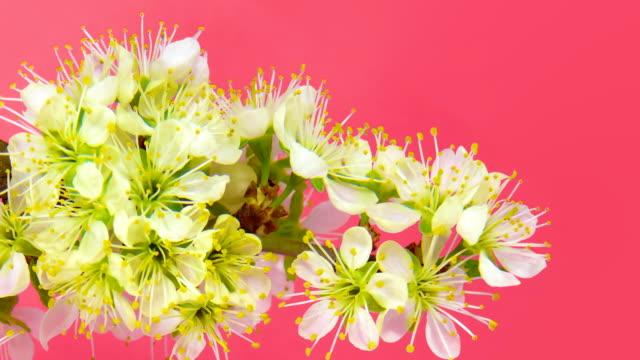 Timelapse sakura on pink video
