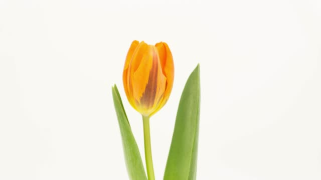 Time-lapse Tulip blossoms Time-lapse Tulip blossoms tulip stock videos & royalty-free footage