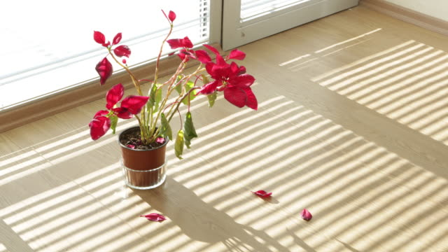 Timelapse Video of a Flowerpot and Sunshine in Home video