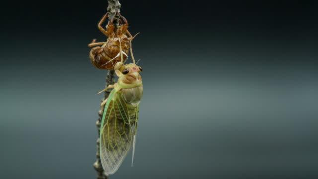 vidéos et rushes de vidéo time-lapse de l'émergence des cigales - insecte