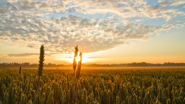 HD Time-Lapse: Wheat Field At Sunrise HD1080p: Time Lapse shot of a beautiful cloudscape with the sunrise rising over the field of spring wheat. sunrise dawn stock videos & royalty-free footage