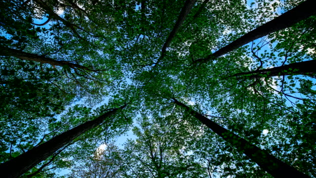 Time-lapse:Large trees in a forest with lush green foliage, view from below