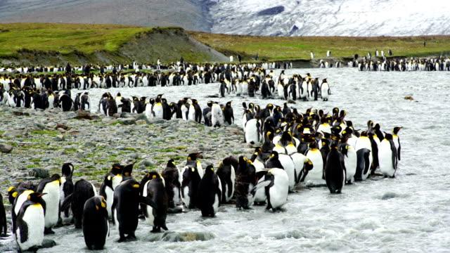 Time-lapse:South Georgia Penguin--King Penguin colony